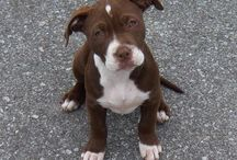 Pit Bulls / Fun photography, as well as information and resources for Pit Bull rescue.