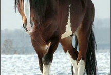 Clydesdale - the gentle giant!