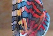 Pillangó, butterfly