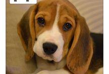 BorrowMyDoggy Beagles