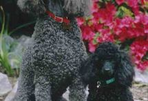 Poodle's / Poodle's all sizes and grooming styles