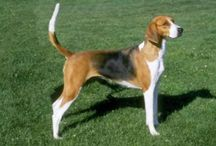 American Foxhound / American Foxhound dog breed pictures