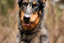 Beauceron Beauties / #beaucerons #dogs #art