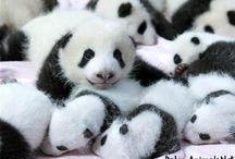 Baby panda / Baby panda pictures