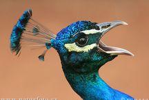 Peafowl Love