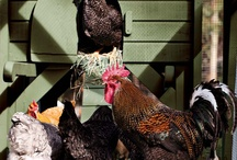 Chickens & Eggs** / Starting a new adventure with our chickes / by B. Morse