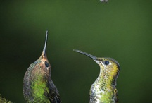 Hummingbirds  / by Denise Borg