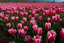 Tulip & othet flower