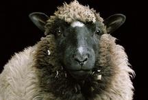 Sheep, Alpacas, and Llamas / Alpacas, sheep, vicunas, llamas -- in art, photography, sculpture, and beyond.