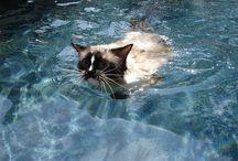 Cat Swimming / Does your Ragdoll cat swim? Ragdoll Cats Swimming Videos!