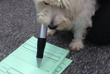 TED - The Adventures of a westie at work