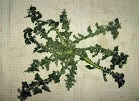 Greek edible herbs