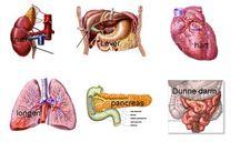 Organen / Menselijk lichaam