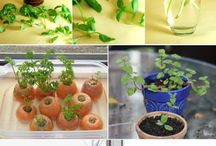 growing veggies