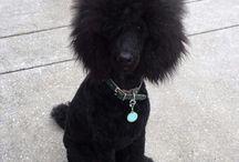 och juj :) beautiful poodle ! so sweeeeet :)