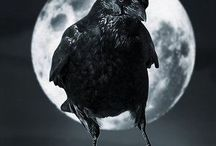 Crow | Raven | Rook