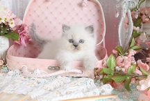Adorable Kittens by cat breed! / by Susan Greenlee