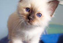 Birman Kittens / by Kendra Moore