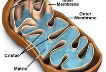Med: Mitochondrien