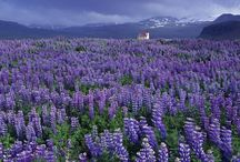 Walking among the flower fields  BLUE & PURPLE / ... tranquility, loyalty, security, trust, intelligence, calming, truth, heaven, confidence ...royalty, nobility, spirituality, luxury, ambition, creative, mystery...