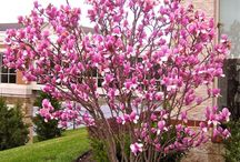 winterhard Magnolia