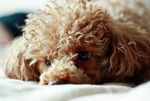Poodle love / by Tanya D
