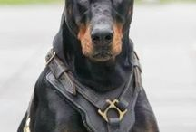 Dog  Security Services /  All our Dog Security Services and Guard Dog security solutions provide with fully licensed and insured as well as are trained to the high standards that are set by Security Industry Authority (SIA), they also undertake further training and gain accreditation from the NASDU and additional knowledge in Health and Safety, criminal and civil law, communication and how to deal with both incidents and emergencies.