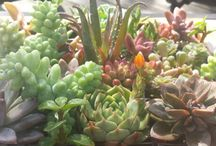 Succulents bring so much color and flavor to any Area