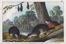 Platypus - antique prints / A selection of antique prints that depict the platypus