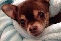 Chihuahuas. My love / by Amy Kisio
