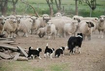 sheep and border collies