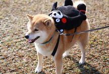 shiba inu and akita inu dogs