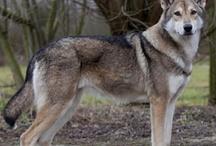 Saarlos Wolfhound