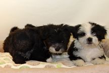 Puppies Janurary 2016 / Puppies we have had during the month of Janurary in the year 2016