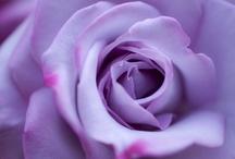 Rose / by Y Sawa