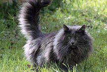 Blue Smoke Norwegian Forest Cat