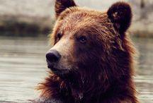 Big Red Bear