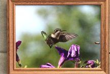 Hummingbirds / Hummingbird Pictures