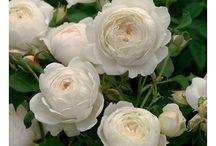 David Austin rózsák