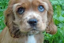 My new dog  / Name: Ella  Type: cocker spaniel Gender: girl