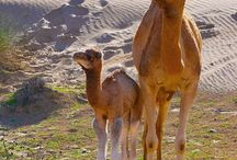 camellos