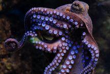 Octapuses