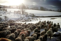 Herdies and the Lake District / A little appreciation for the animals who produce the wool for our 'Chimney Sheep' and the beautiful landscape they live in.