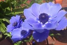Flower/Blomster/Flores