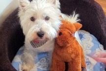 Westies - worlds best dog