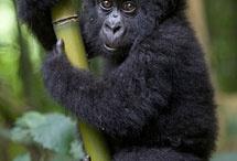 gorillakia