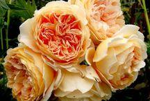 Цветы для сада 2017.     dachnii.ru / Розы, тюльпаны, крокусы 2017 купить в Санкт-Петербурге