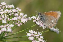 Butterflyes in Finland /Suomen Perhoset