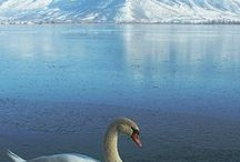 Animals - Swans / Swans / by Virginia Roberts