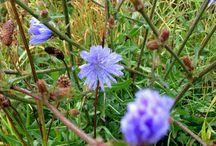 Cikoriekaffe lavet på rødder / Almindelig Cikorie (Cichorium intybus) er en plante, man tit ser langs grøftekanterne i hvert fald på Bornholm. Cikorie har de flotteste himmelblå blomster og kan ikke forveksles med andre planter. Den har været brugt som lægeplante, og under krigen lavede man erstatningskaffe, af de tørrede ristede rødder. Der findes flere sorter cikorie, og nogen bliver dyrket og solgt som julesalat.